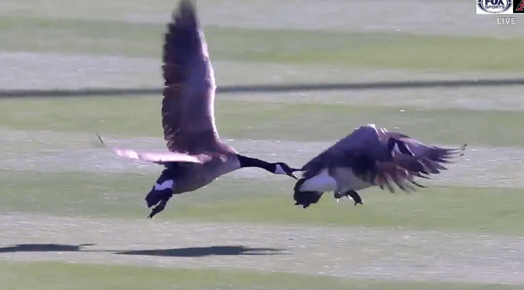 Baseball: A friendly game interrupted by ... birds